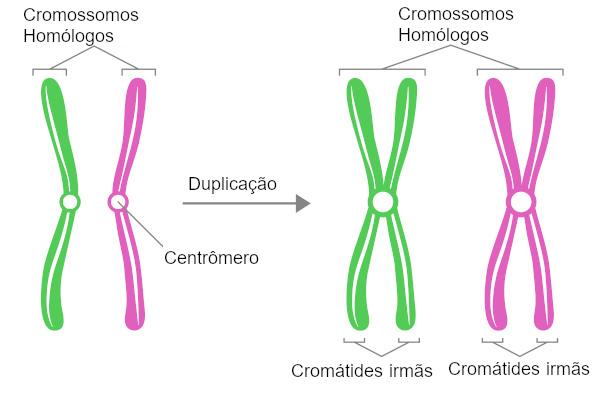 A duplicação do cromossomo ocorre na interfase.