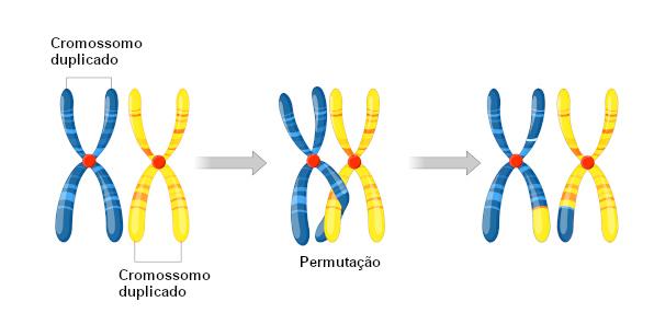 A permutação (crossing-over) aumenta a variabilidade genética.