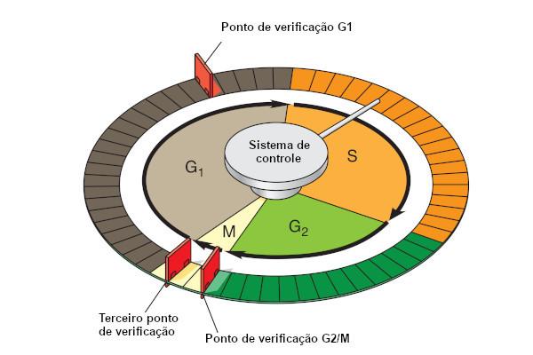 Observe na figura os três principais pontos de verificação do ciclo celular.