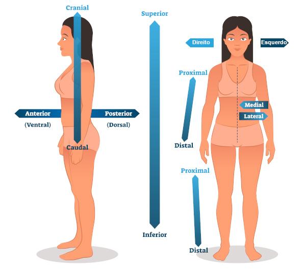 Observe o desenho para compreender melhor os termos de direção em anatomia.