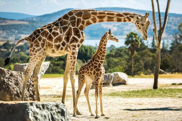 As girafas são animais encontrados no continenteafricano.