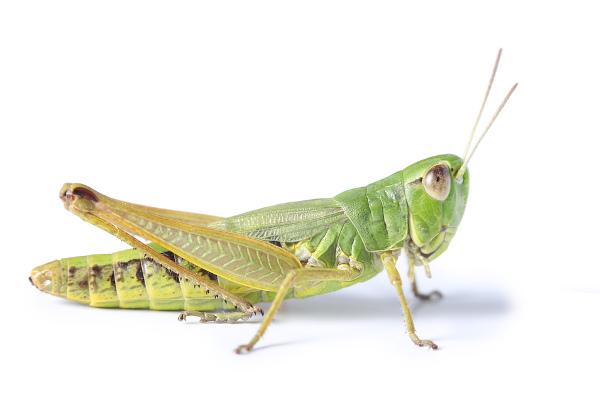 O gafanhoto é um inseto, apresentando, portanto, corpo dividido em cabeça, tórax e abdome.