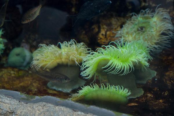 As anêmonas-do-mar são pólipos e exemplos de antozoários.