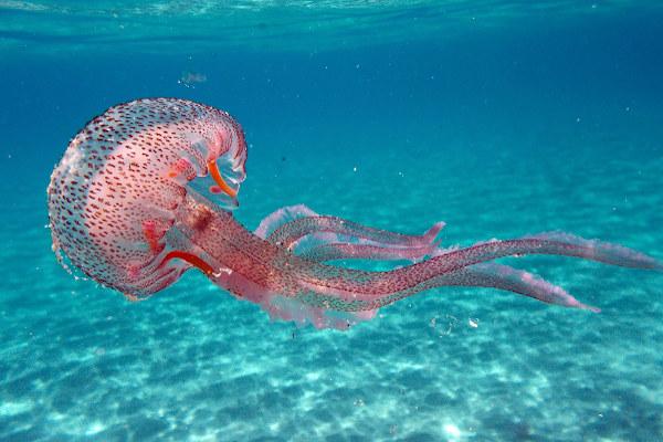 As medusas são uma forma de vida livre e natante.