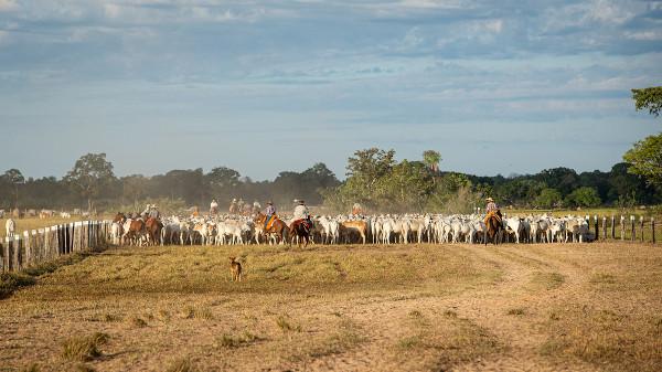 Gado bovino em Mato Grosso do Sul, o estado com o terceiro maior rebanho bovino do país, atrás de Minas Gerais (segundo) e Mato Grosso (primeiro). [1]