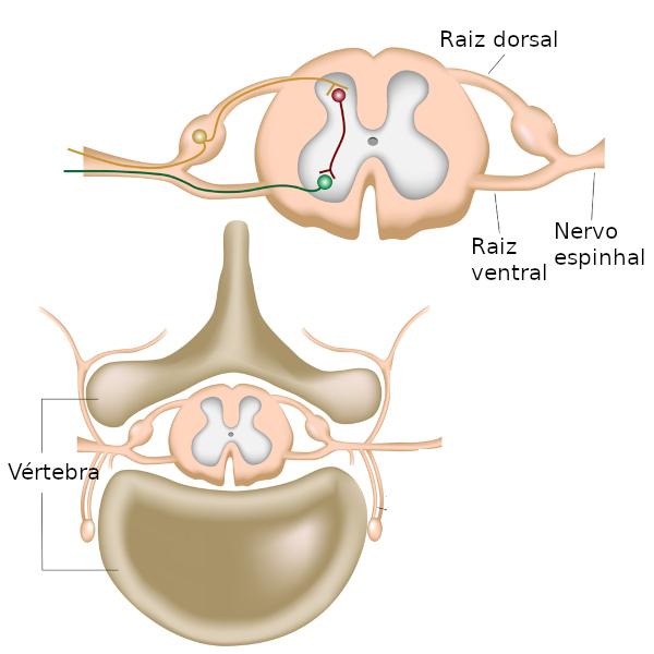 Na figura é possível perceber uma região mais escura localizada no centro da medula espinhal (substância cinzenta) e também os nervos partindo da região.