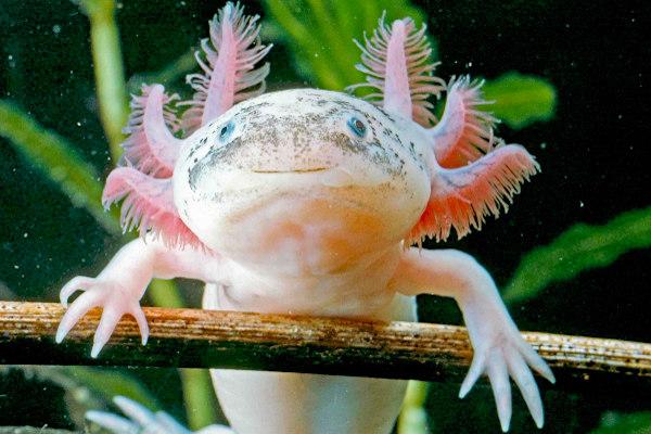 Os axolote é um urodelo que apresenta características larvais mesmo quando já está em sua fase reprodutiva.