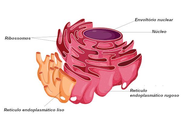 O retículo endoplasmático apresenta duas regiões: o retículo endoplasmático liso e o rugoso.