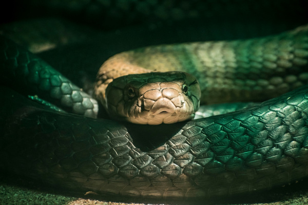 As serpentes são animais que, apesar da ausência de patas, apresentam grande capacidade de locomoção.
