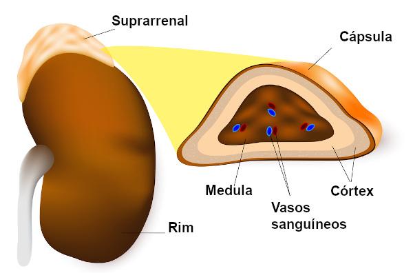 A noradrenalina é produzida pela medula suprarrenal e também pelo sistema nervoso.