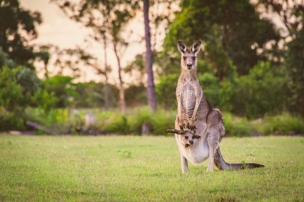 Os cangurus são mamíferos marsupiais.