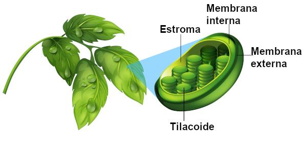 Observe a estrutura básica de um cloroplasto.