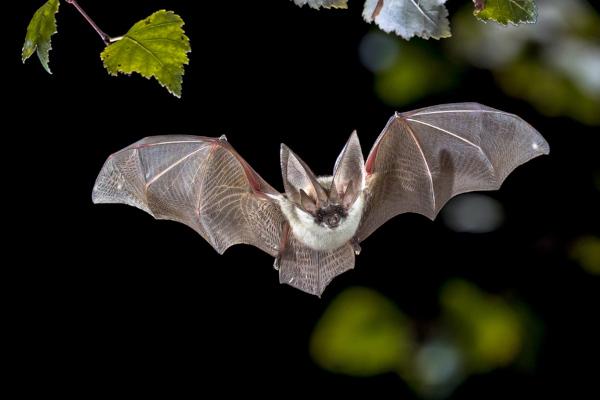 Os morcegos são mamíferos que apresentam capacidade de voar.