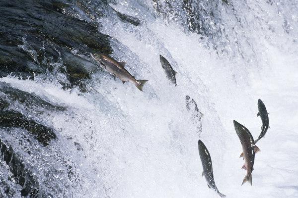 Na piracema, os peixes realizam uma exaustiva viagem rio acima para reproduzirem-se.