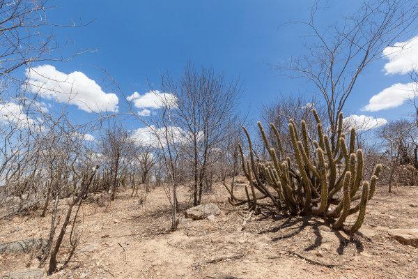 Vegetação típica da Caatinga durante a seca.