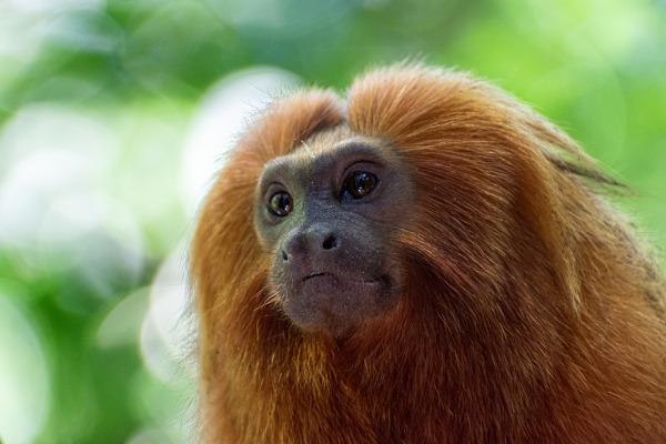O mico-leão-dourado é uma espécie que sofre com a destruição de seu habitat.