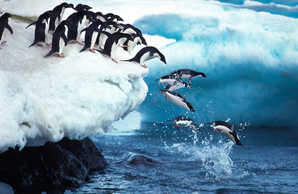 Os pinguins são ágeis no ambiente aquático, entretanto, apresentam dificuldade para se locomover na terra firme.