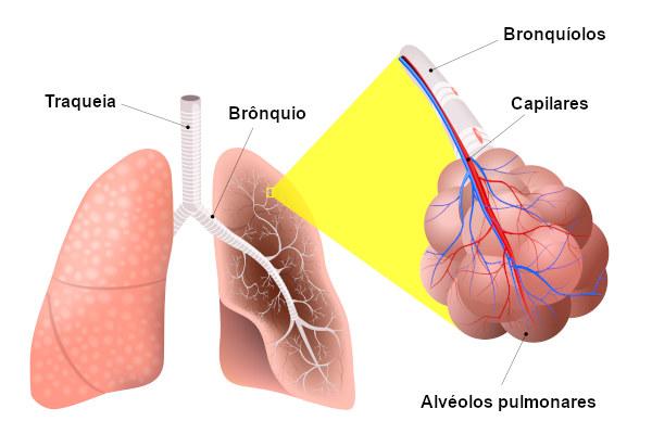 A traqueia é um tubo vertical que garante que o ar seja levado até os pulmões.