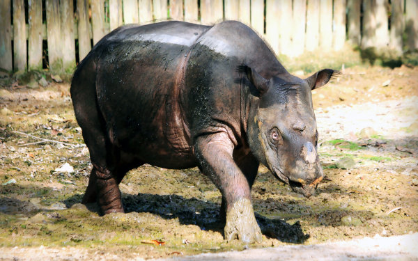 O rinoceronte-de-sumatra é uma espécie criticamente ameaçada.