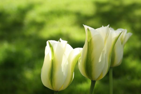 A Tulipa se tornou o símbolo dos cinco pontos que norteiam a doutrina calvinista.