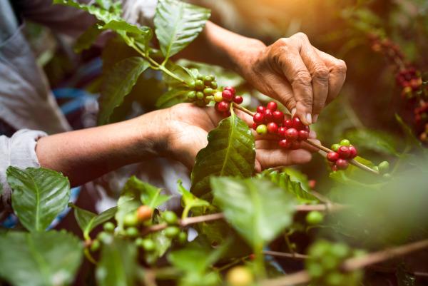 Os frutos do cafeeiro têm coloração avermelhada ou amarelada, sendo encontrado no seu interior, geralmente, duas sementes achatadas.