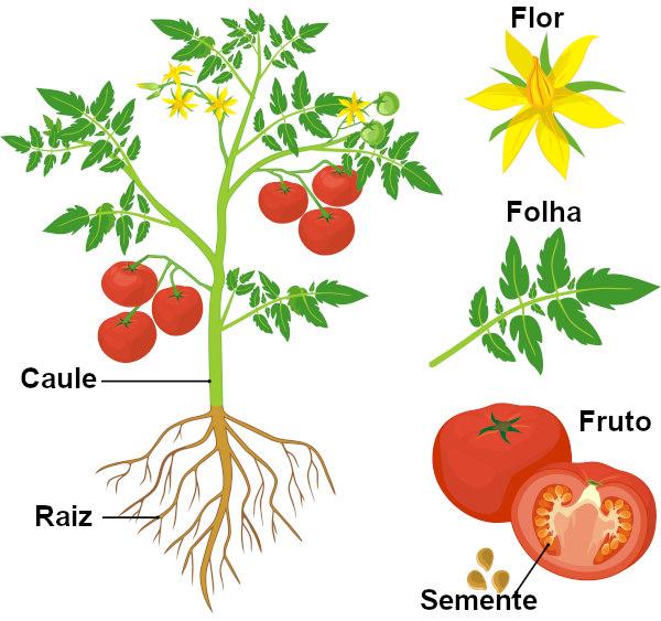 Observe os principais órgãos vegetais.
