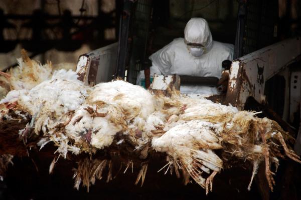 As aves identificadas com gripe aviária devem ser sacrificadas.