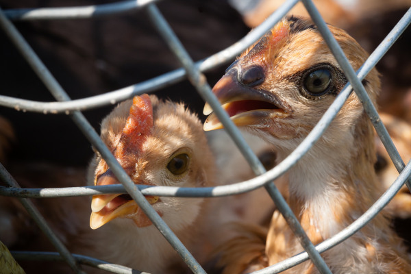 As aves também estão sujeitas a infecções pelo vírus influenza.