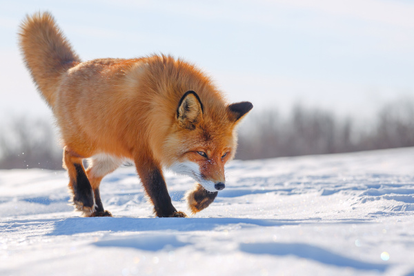 A fauna da Tundra inclui mamíferos como as raposas.