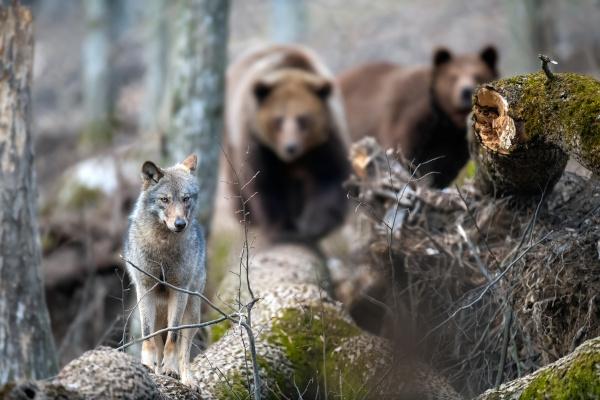 Uma grande diversidade de animais habita a Taiga, como lobos e ursos.