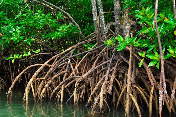 Foto de vegetação típica dos mangues.