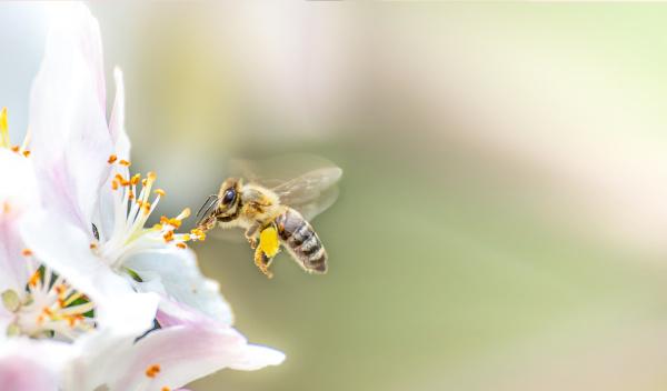 Abelha retirando néctar de flor.
