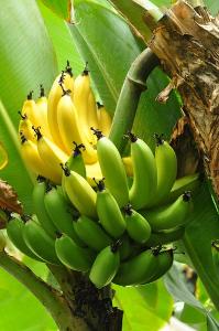 Banana: alimento muito nutritivo
