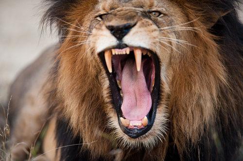 O leão é um organismo heterotrófico, ou seja, não produz seu próprio alimento