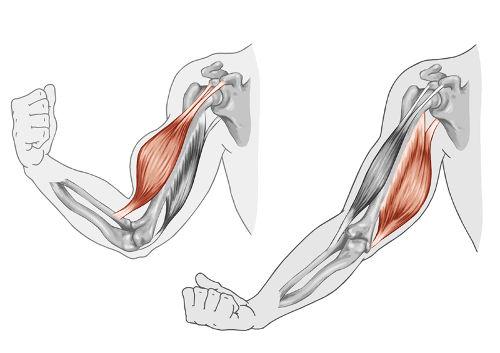 É por meio da contração muscular que podemos dobrar o braço