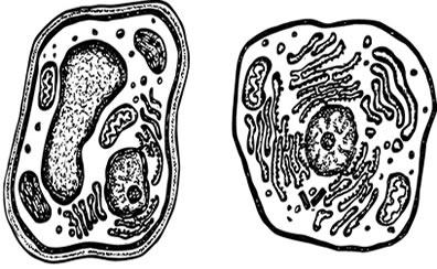 As diferenças entre as células animais e vegetais podem ser vistas no microscópio