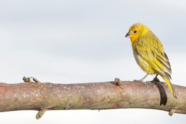 O canário-da-terra é um exemplo de pássaro.