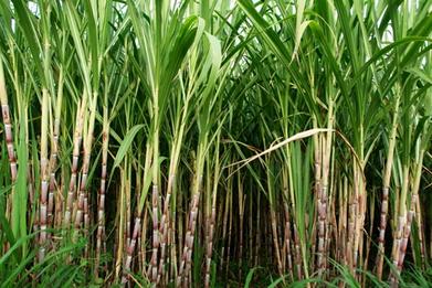 O cultivo da cana-de-açúcar, nos séculos XVI e XVII, foi fundamental para o desenvolvimento do Nordeste brasileiro