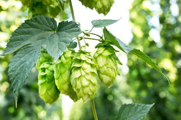 O lúpulo é uma planta utilizada na fabricação de cerveja.