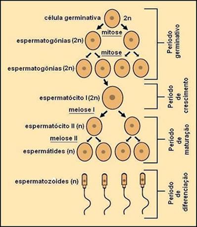 A espermatogênese é o processo de formação de espermatozoides a partir de células precursoras chamadas de espermatogônias