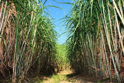 O cultivo da cana-de-açúcar obteve seu auge entre o final do século XVI e meados do século XVII