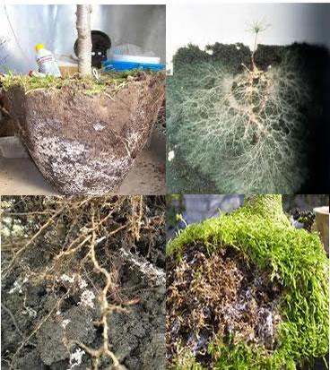Micorrizas em raízes de plantas