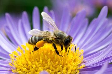 As abelhas são importantes agentes polinizadores