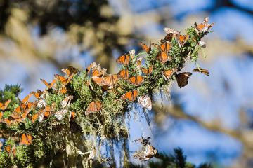 Um grupo de borboletas-monarcas pode ser denominado de população