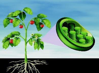 Os cloroplastos são os plastos mais conhecidos e estão relacionados com o processo de fotossíntese