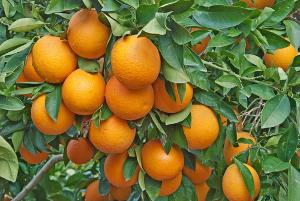 Fruto de ação antioxidante e fortalecedor do sistema imunológico