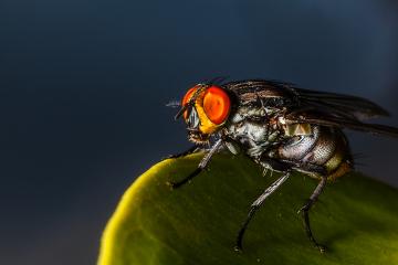 A miíase furunculoide é ocasionada em virtude da penetração de larvas de Dermatobia hominis na pele