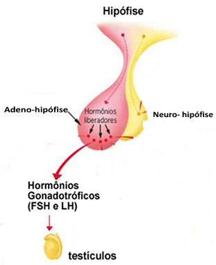 A produção de testosterona pelos testículos embrionários induz a diferenciação da genitália masculina