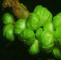 A jabuticaba-branca, quando madura, é de cor amarelo-esverdeada