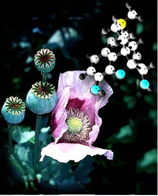 Flor da papoula e suas cápsulas, das quais se extrai a morfina, que é um alcaloide